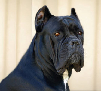 Bellissima cane corsos cane corso breeder tennessee cane corso bellissima lady cypress malvernweather Images