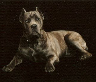 Bellissima cane corsos cane corso breeder tennessee cane corso co owned by jerry yamile grijalva malvernweather Images